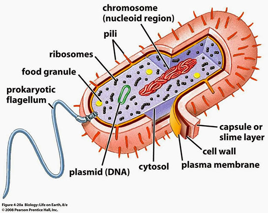 how to make 3d prokaryotic cell